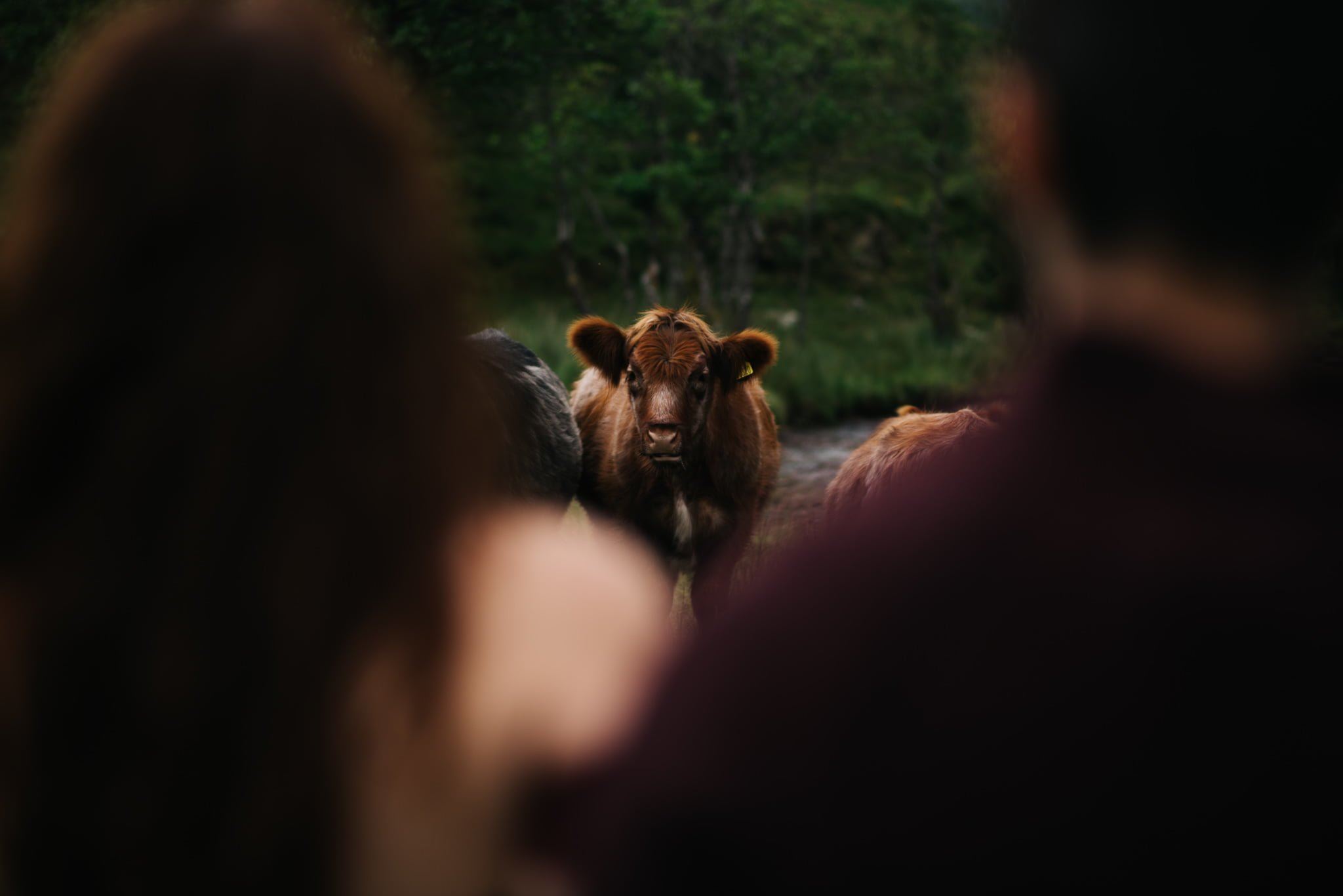 cow staring at couple